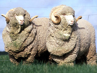Two Australian Merino Rams