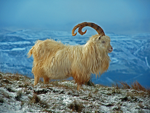 Cashmere comes from this Kashmir Goat